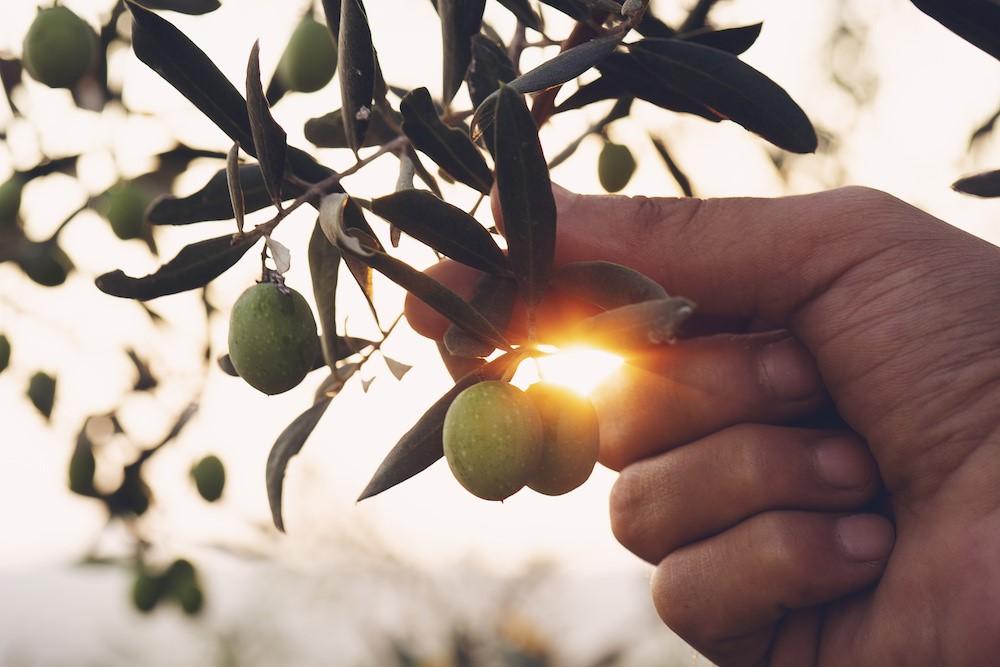 オリーブの実を摘む