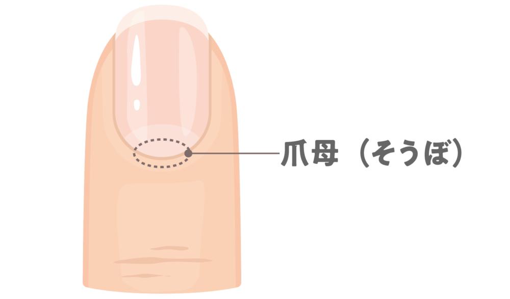 爪の根元の爪母の位置を示した画像