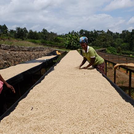 コーヒー豆乾燥